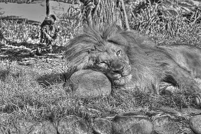 Photograph - Lion In Repose by SC Heffner