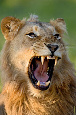 Aggressive Photograph - Lion by Johan Swanepoel