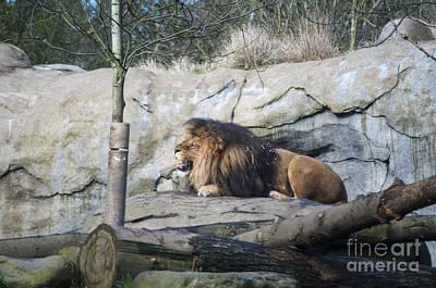 Lion Print by Mandy Judson