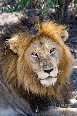 Photograph - Lion Panthera Leo by Gregory G. Dimijian, M.D.