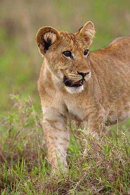 Leo Photograph - Lion (panthera Leo by Martin Zwick