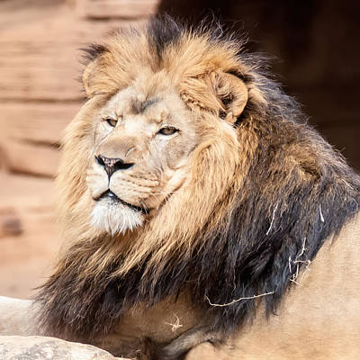 Photograph - Lion Portrait Of The King Of Beasts by Alex Grichenko