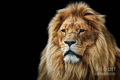 Photograph - Lion Portrait With Rich Mane On Black by Michal Bednarek