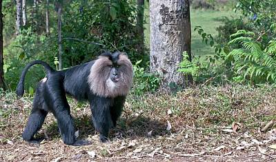 Lion-tailed Macaque Alpha Male Print by K Jayaram