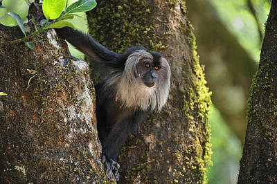 Lion-tailed Macaque In Tree India Art Print