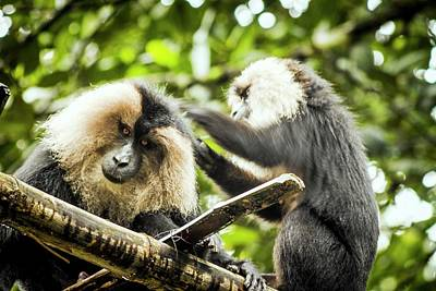 Two Tailed Photograph - Lion-tailed Macaques by Paul Williams