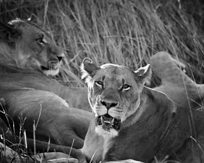 Photograph - Lioness by Gigi Ebert