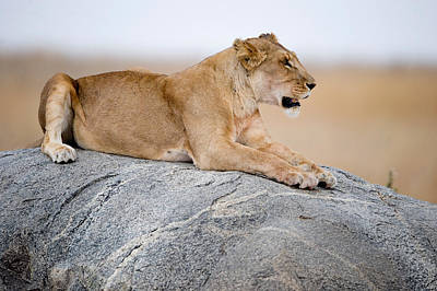 Lioness Panthera Leo Sitting On A Rock Art Print by Panoramic Images