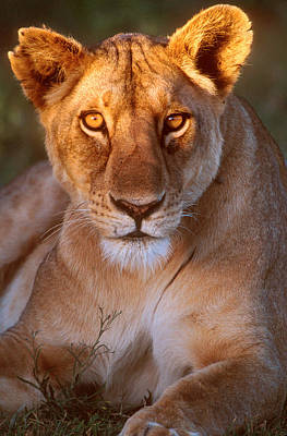 Golden Eye Cat Photograph - Lioness Tanzania Africa by Panoramic Images