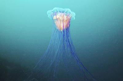Lion's Mane Jellyfish Art Print by Science Photo Library