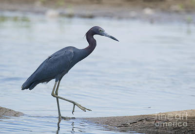 Photograph - Little Blue Heron by Dan Suzio