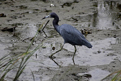 Photograph - Little Blue Heron by Jeanne Kay Juhos