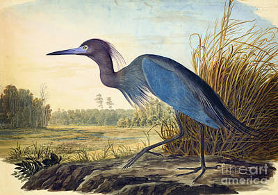 Animals Drawings - Little Blue Heron by Celestial Images