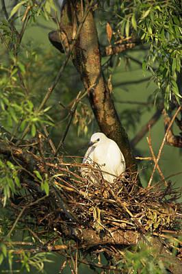 Breeding Photograph - Little Egret (egretta Garzetta by Martin Zwick
