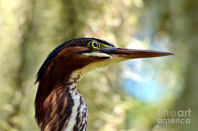 Little Green Heron Portrait Art Print by Kathy Baccari