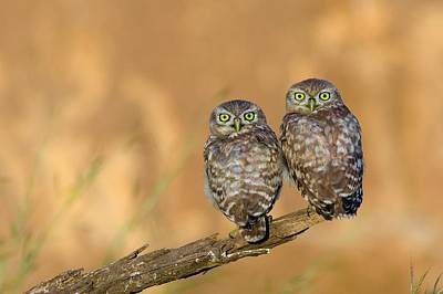 Front View Photograph - Little Owl Athene Noctua Couple by Photostock-israel