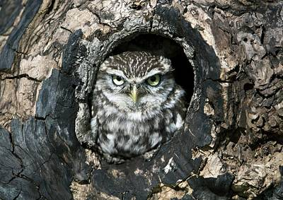 Burrowing Owl Wall Art - Photograph - Little Owl by Dr P. Marazzi/science Photo Library