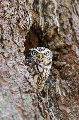 Athena Photograph - Little Owl by John Devries