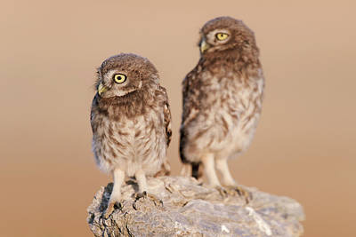 Nature Nesting Photograph - Little Owl Mating Couple by Dr P. Marazzi