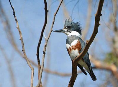 Kingfisher Photograph - Little Prince by Fraida Gutovich