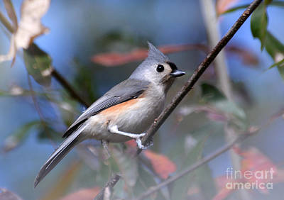 Photograph - Little Tufted Titmouse by Kathy Baccari