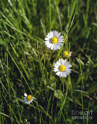 Photograph - Little White Daisies by Cindy Garber Iverson