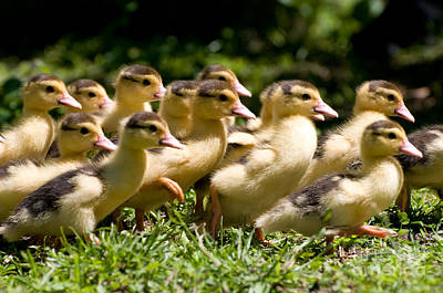 Yellow Muscovy Duck Ducklings Running In Hurry  Print by Arletta Cwalina