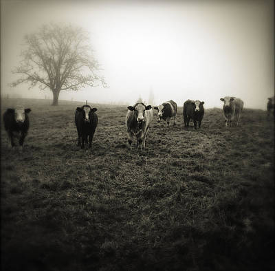 Cow Wall Art - Photograph - Livestock by Les Cunliffe
