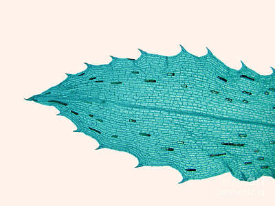 Plant Micrograph Photograph - Lm Of Hydrilla Verticillata Leaf by Garry DeLong