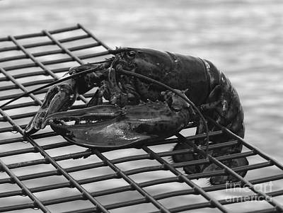 Photograph - Lobster Bw by Christine Stack