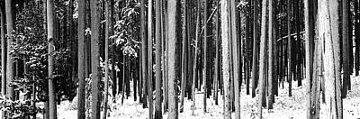 Lodgepole Pines And Snow Grand Teton Art Print by Panoramic Images