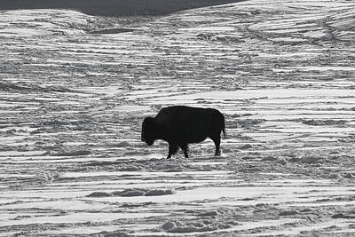 Photograph - Lone Bull by Trent Mallett
