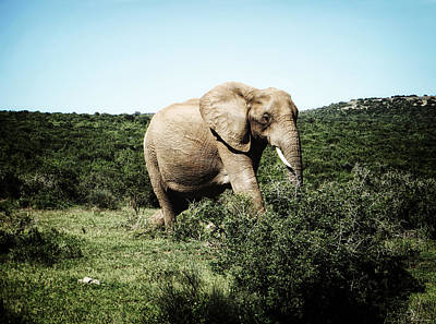 Elephant Photograph - Lonely Giant by Ryan Wyckoff