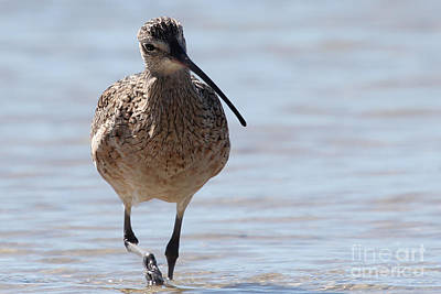 Photograph - Long-billed Curlew by Meg Rousher