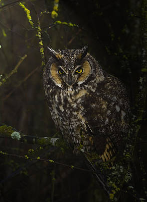 Owl Photograph - Long Eared Owl by Rob Mclean