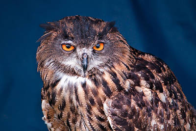 Photograph - Long-earred Owl by Shirley Mitchell