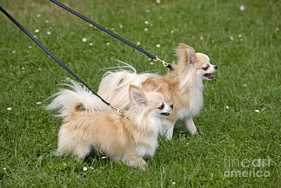 Pet Care Photograph - Long-haired Chihuahuas by Jean-Michel Labat