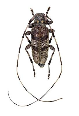 Cut Out Photograph - Longhorn Beetle by F. Martinez Clavel