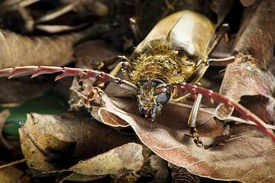 Longhorn Photograph - Longhorn Beetle by Philippe Psaila