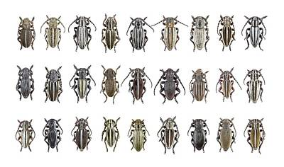 Longhorn Beetles Art Print by F. Martinez Clavel