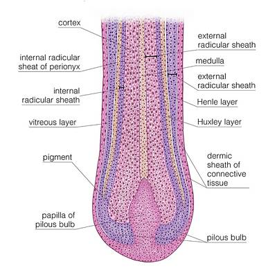 Huxley Photograph - Longitudinal Section Of Hair Follicle by Asklepios Medical Atlas
