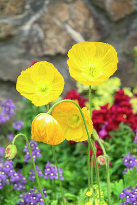 Antirrhinum Photograph - Longwood Gardens, Iceland Poppy by Lisa S. Engelbrecht