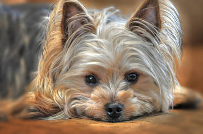 Yorkshire Terrier Wall Art - Photograph - Looking At You by Don Wolf