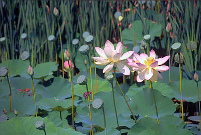 Nelumbo Nucifera Photograph - Lotus by Anna Miller