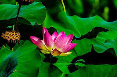 Lotus Blossoms Photograph - Lotus Blossom by Louis Dallara