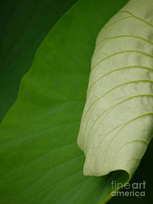 Photograph - Lotus Leaf by Jane Ford