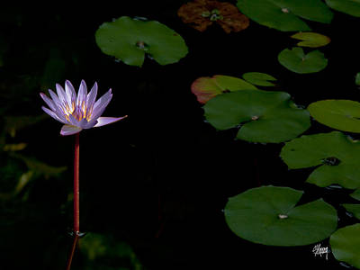 Photograph - Lotus Peace by Stan Kwong
