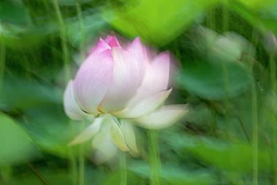 Lotus Pond, Guyana (large Format Sizes Art Print