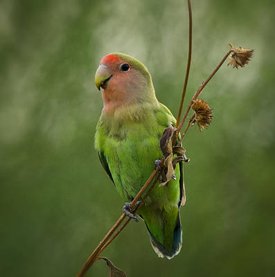 Lovebird Photograph - Lovely Little Lovebird  by Saija  Lehtonen