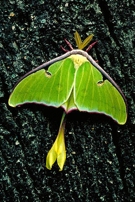 Photograph - Luna Moth Male by Jeff Lepore